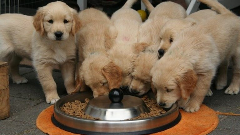 Ask the Vet: At What Age Puppies Eat Dry Kibble?