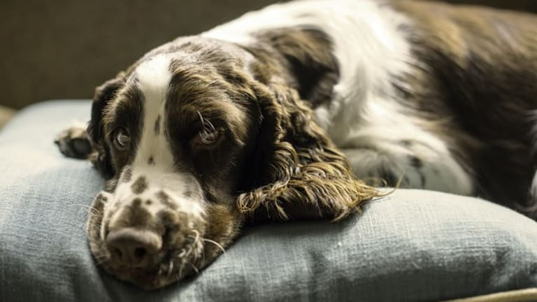 Ask The Vet: Why Do Dogs Faint?