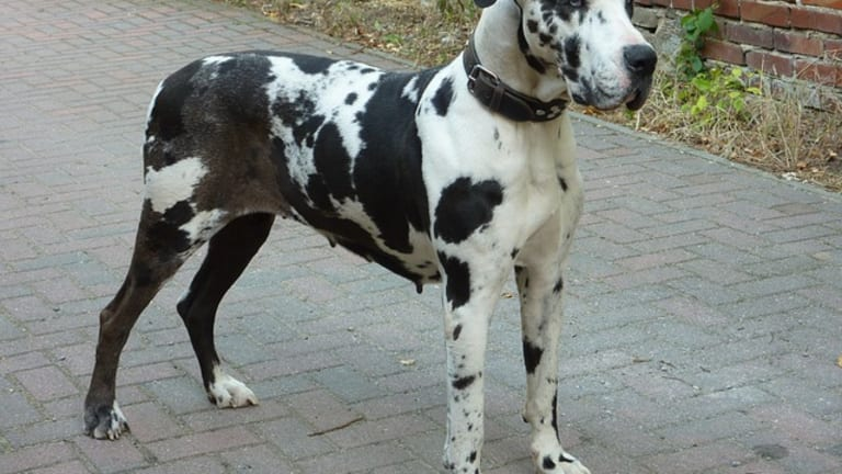 Do Great Danes Have High Prey Drive?