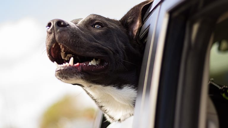 Why Does My Dog Panic When I Leave the Car?
