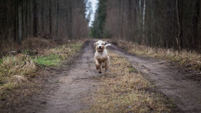 Why Do Dogs Chase Cars? Tips to Stop Car Chasing in Dogs