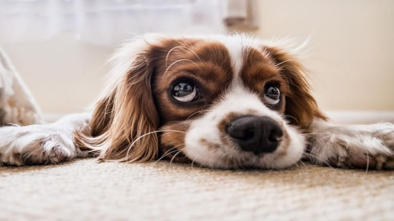 Ask the Dog Trainer: Why Do Dogs Dig at Carpets?