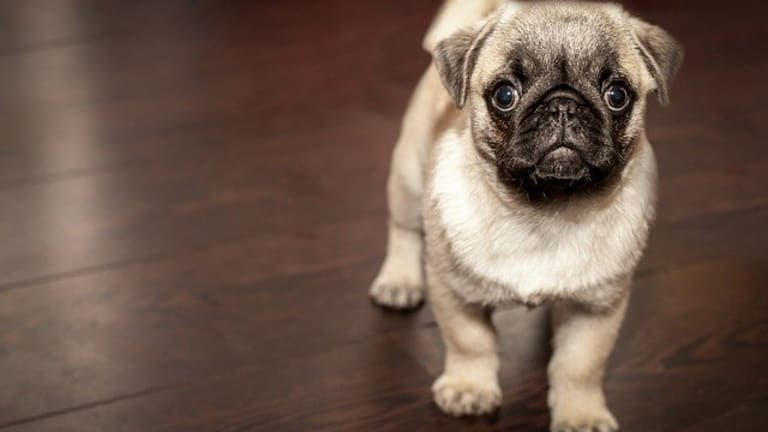 Why Do Puppies Poop in the House?