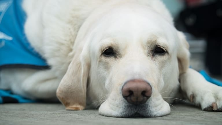 Why Do Dogs Shed When Stressed or Nervous?