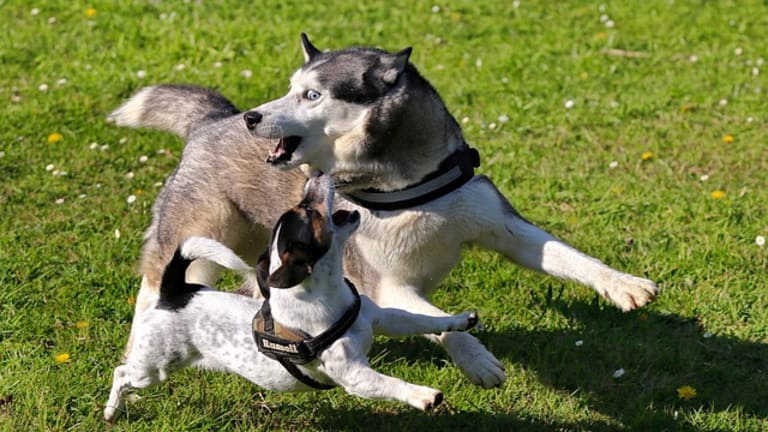 Why Do Dogs Bark When Playing?