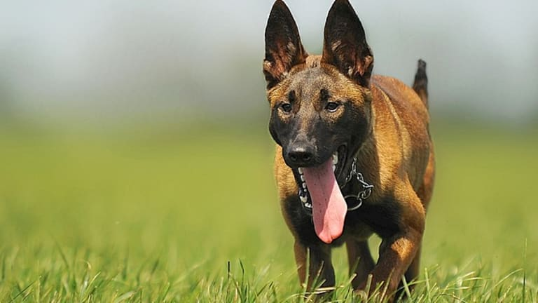 Why Do Dogs Have a Long Tongue?