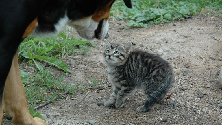 Why Do Dogs Chase Cats?