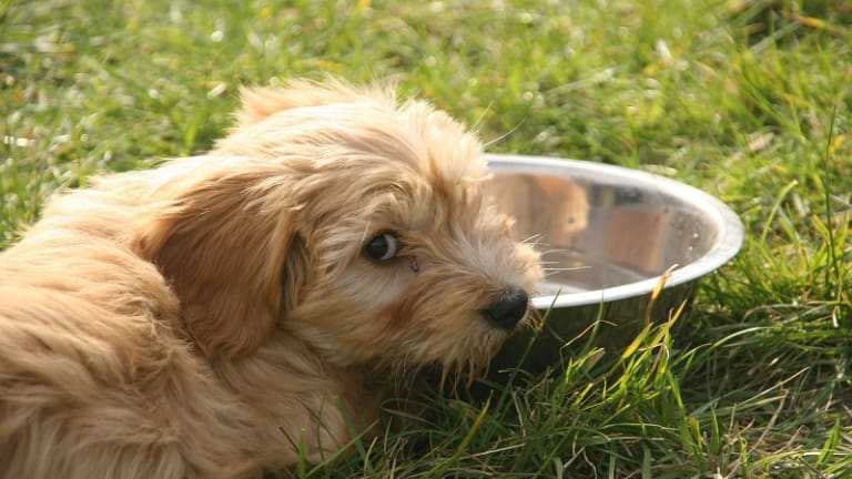 Psychogenic Polydipsia, Dogs Obsessed with Drinking Water