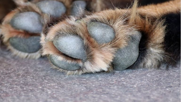 Why Do Dogs Get Blisters on the Paws?