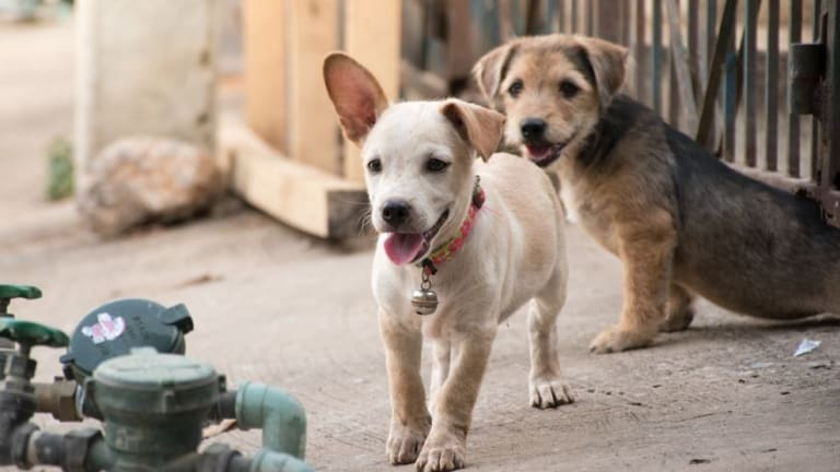 Why Do Dogs Pee When You Greet Them?
