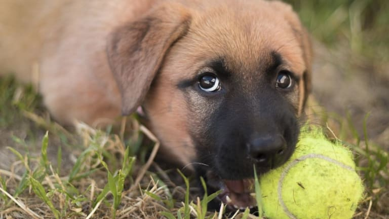 Ask the Vet: How to Help Teething Puppies