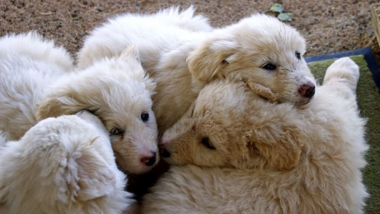 Why Do Puppies Sleep in a Pile?