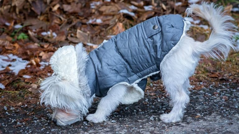 Why Do Dogs Wear Coats in the Winter?