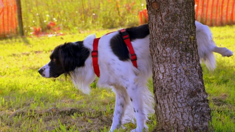 Why Do Dogs Kill Grass When They Pee?
