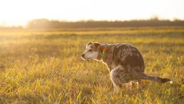 Why Do Dogs Poop so Much?