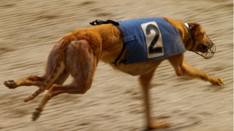 Why Do Greyhounds Wear Muzzles When They Race?