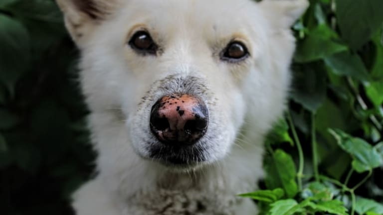 Why Do Dogs' Noses Change Color? 7 Causes With Pictures
