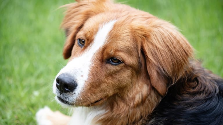 """Why Do Dogs Move Their """"Eyebrows?"""""""