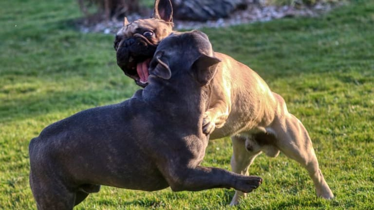 Dog Word of the Day: Ritualized Aggression