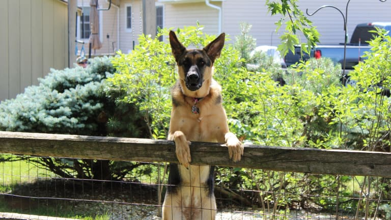Why Do Dogs Fence Fight?
