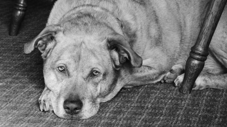 Ask the Vet: Why Do Dogs With Heart Failure Cough at Night?