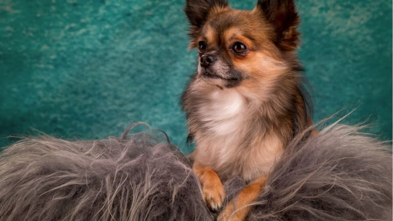 Ask a Vet: How to Stop a Dog From Shedding Excessively?