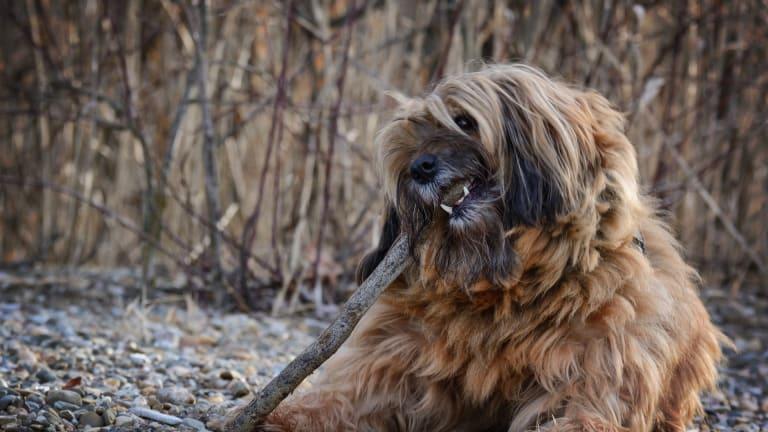 Why Do Dogs Chew Sticks?