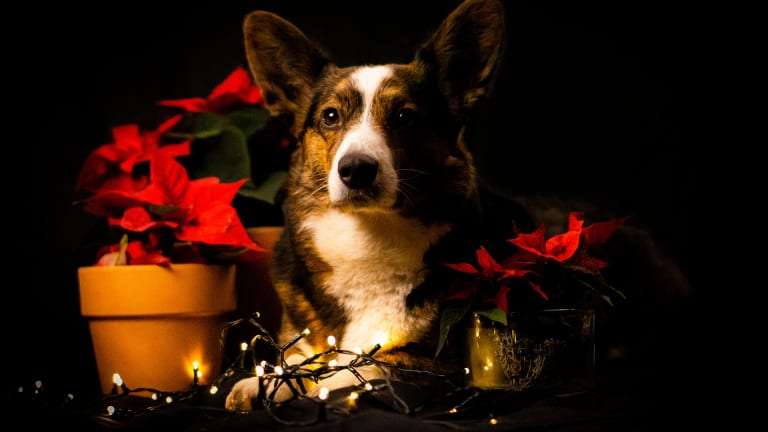 Why Do Dogs Get Sick From Poinsettias?