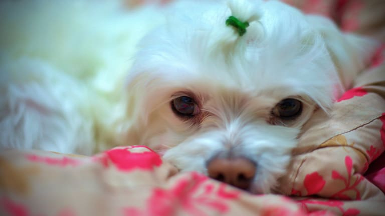 Why Do Dogs Tear Up Their Beds? +16 Hacks to Stop Destruction
