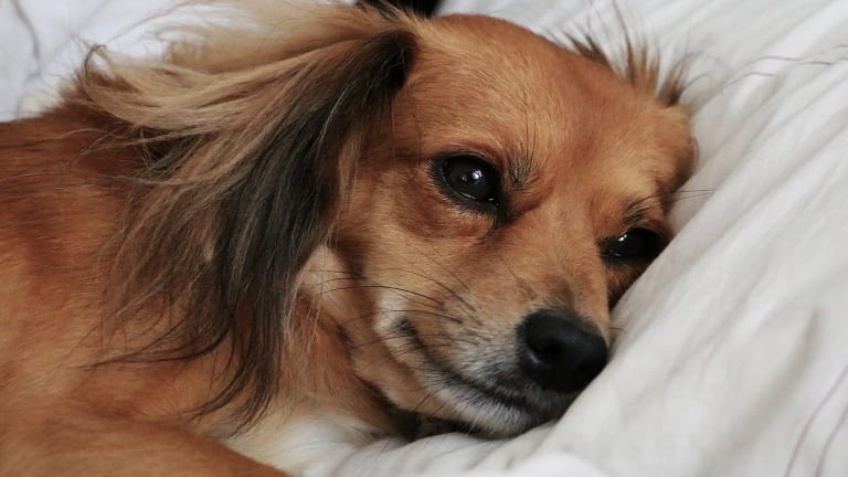 Why Do Dogs Not Get Appendicitis?