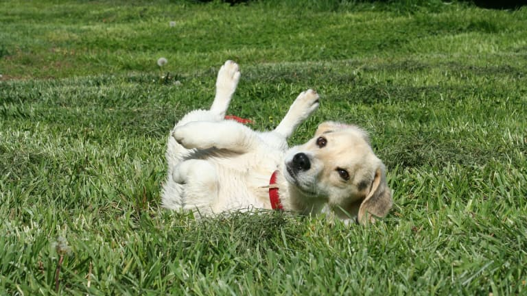 Why Do Dogs Roll in Poop? Hacks to Stop the Behavior