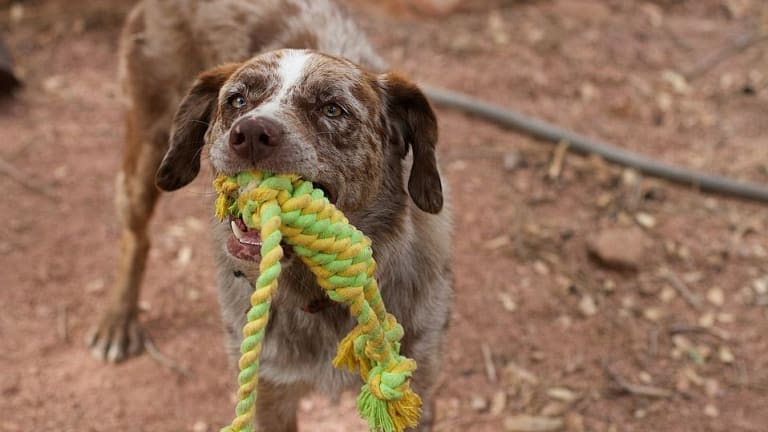 Why Do Dogs Growl When Playing Tug-of-War?