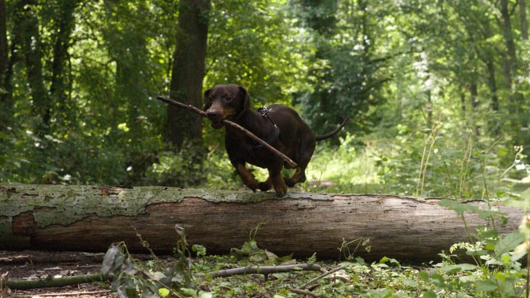Why Do Dachshunds Have Long Bodies?