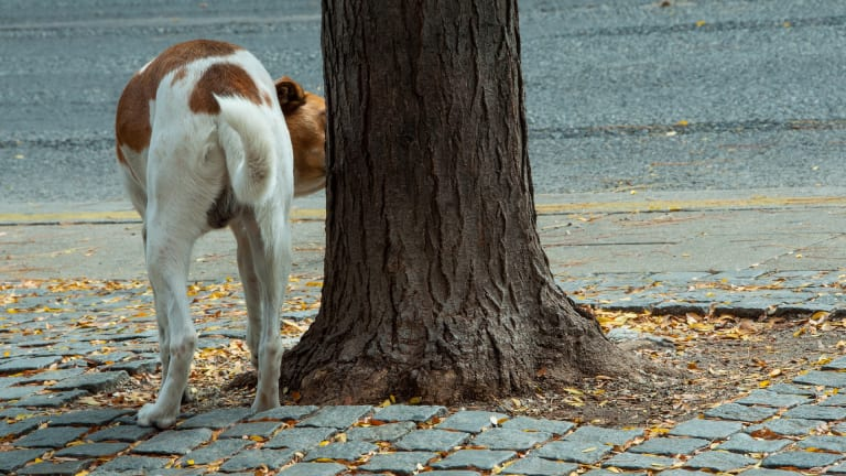 Why Do Dogs Lift Their Leg to Pee?