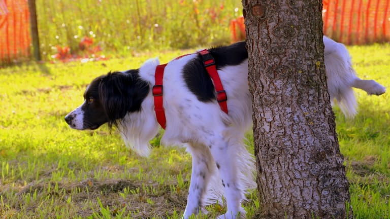 Why Do Dogs Mark Territory With Pee?