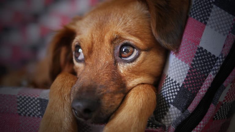 Why Do Puppies Cry The First Night?