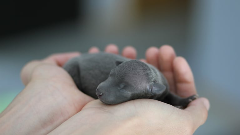 Why Are Puppies Born With Their Ears Closed?