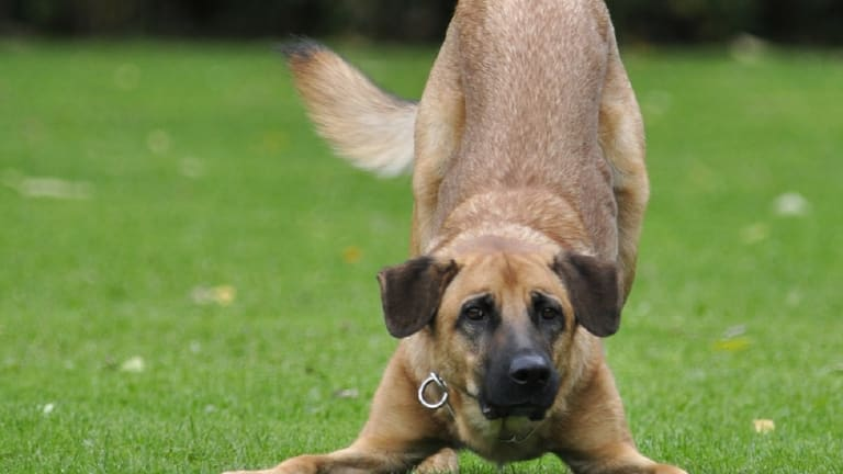 Discovering The Real Reason Why Dogs Wag Their Tails