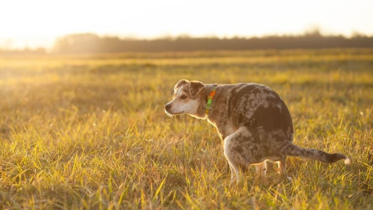 Help, My Dog Has Recurrent Urinary Tract Infections (UTIs)