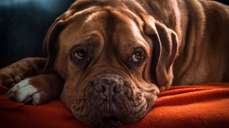 Ask the Vet: Why Do Old Dogs Leak Urine?