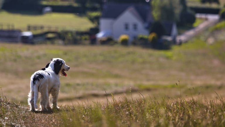 Why Do Spaniels Chase Birds?