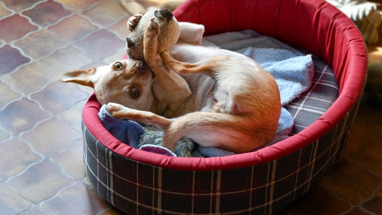 Why Do Dogs Bring Their Toys to Bed or on the Couch?