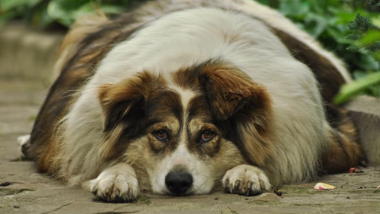 Why Do Dogs Gain Weight After Being Neutered?