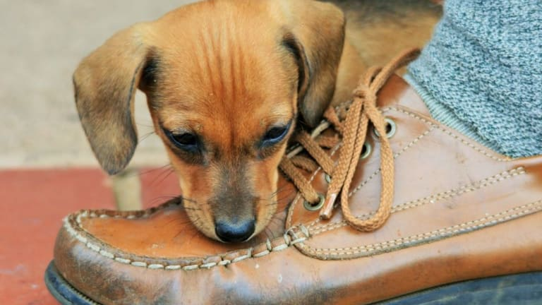 Why Do Puppies Attack Your Feet?