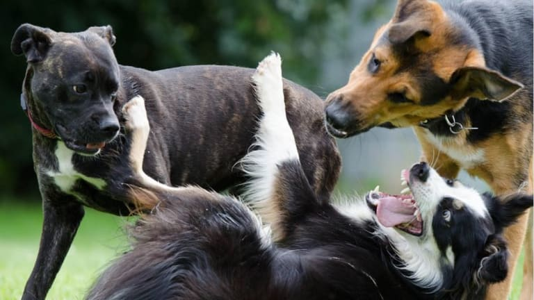 Why Do Dogs Fight at the Dog Park?