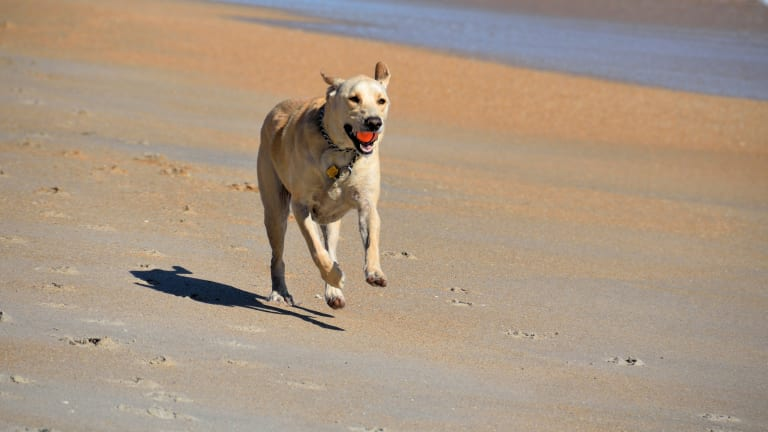 Why Do Dogs Not Bring the Ball Back When Fetching?