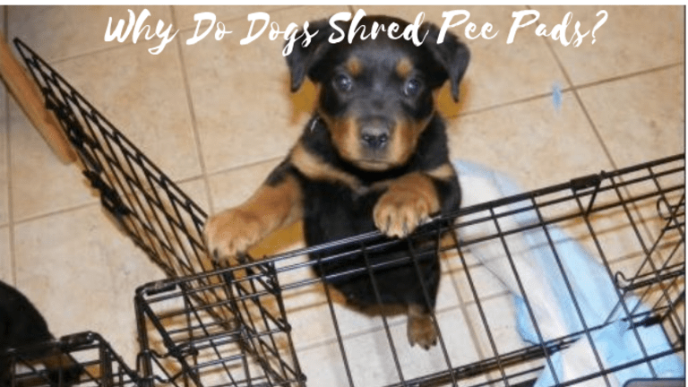 Why Do Dogs Shred Pee Pads?