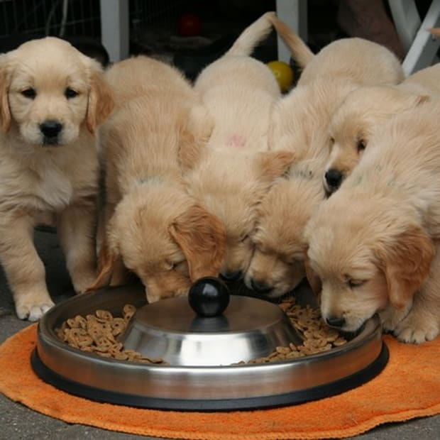 golden-retriever-puppy-2706672_640