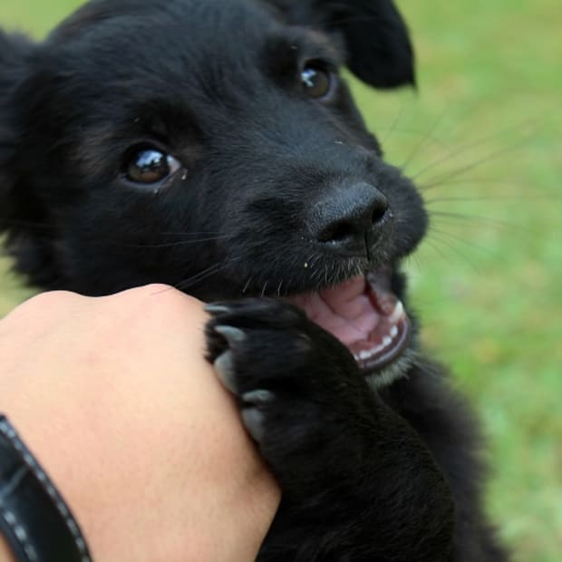 Puppy Biting Feet and Hands