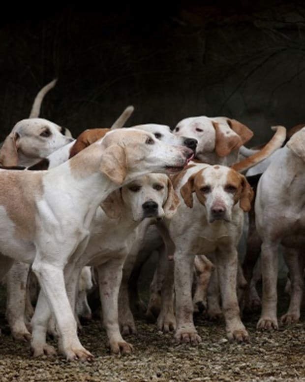 Why Do Hounds Smell Bad